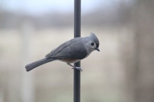 Why I Love Titmice