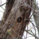 Redbellied Woodpecker 3