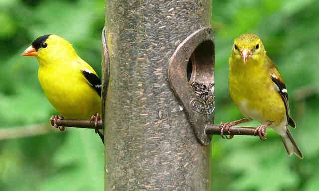 goldfinch report