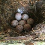 tufted titmouse eggs 2