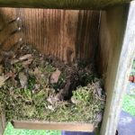 tufted titmouse nest 1