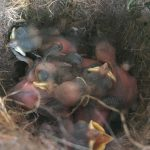 tufted titmouse babies 2