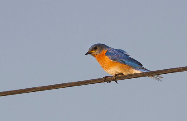 Where to find Eastern Bluebirds