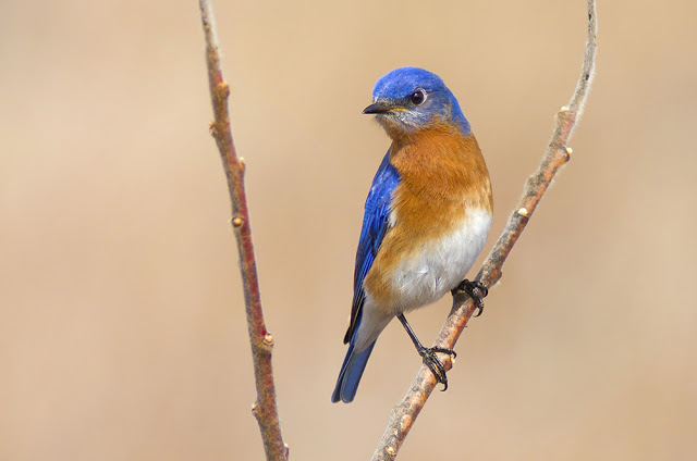 Eastern Bluebird in during spring migration