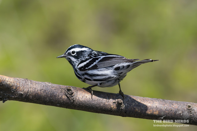 Black and White Warbler at Point Pelee