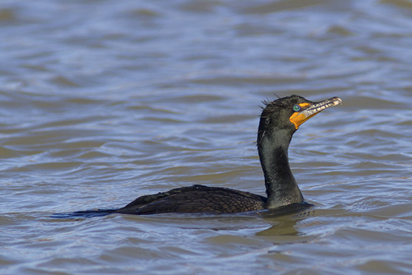 Double-crested Cormorant in Lake Ontario