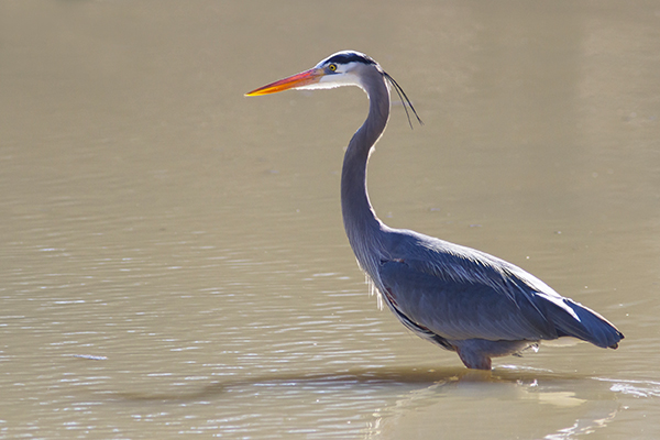 Great Blue Heron wading in water