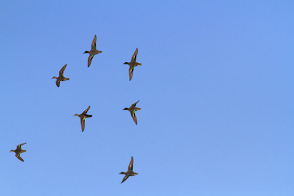 A flock of Green-winged Teals in flight