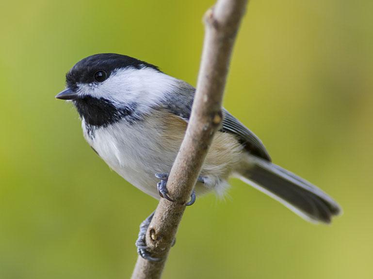Identify backyard birds