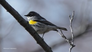 Yellow-rumped Warbler High Park