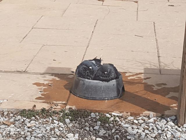 pigeons in dog bowl