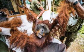 Emaciated orangutan found in devastation where his home once thrived