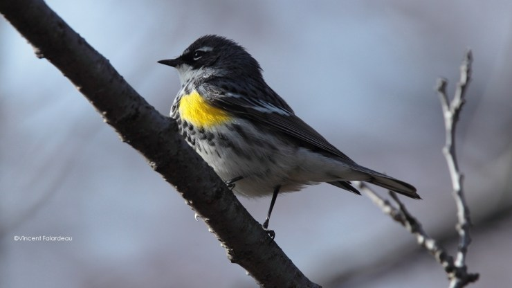 Yellow-rumped Warbler High Park