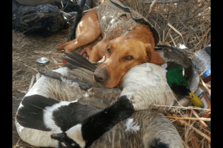 Guided Goose Hunting Colorado
