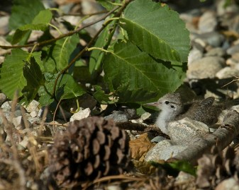 Spotted Sandpiper chick - 07