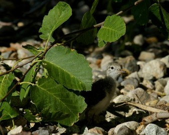 Spotted Sandpiper chick - 09