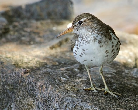 Spotted Sandpiper mother - 1a