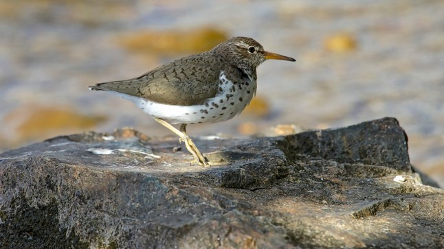 Spotted Sandpiper mother - 3a