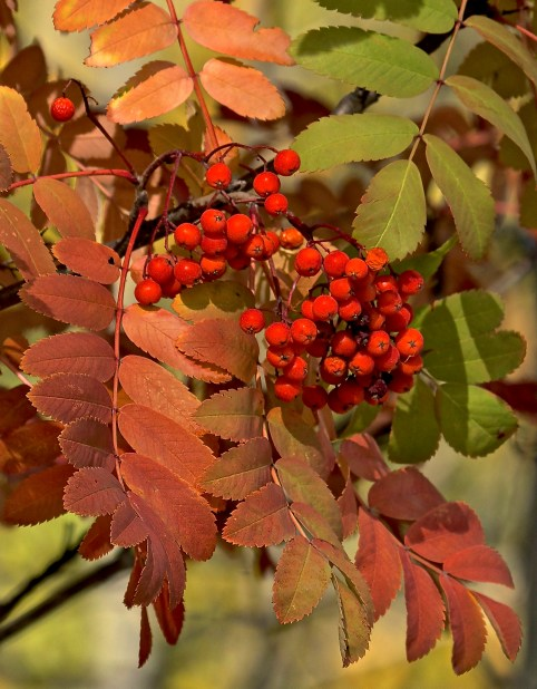 Mountain Ash (Rowan) berries in Autumn
