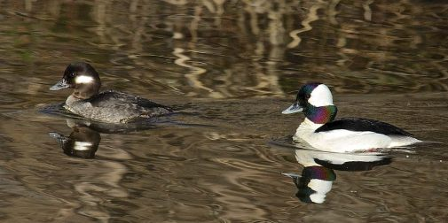 Bufflehead pair, Michaelbrook Marsh.
