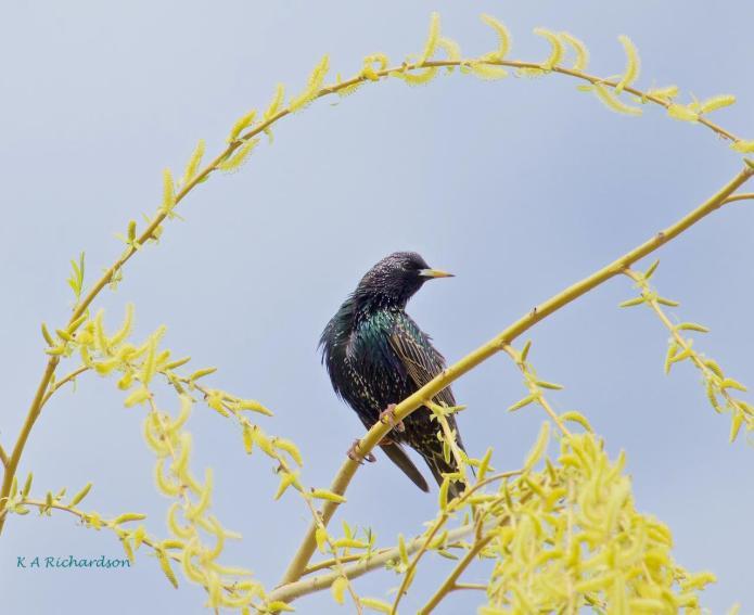 European Starling in spring