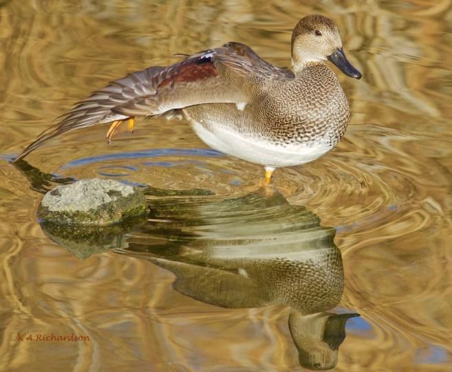 (Anas strepera) Rotary Marsh, Kelowna.