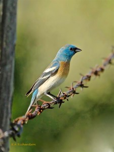 """""""Similar to adult, but first-year male tends to have paler and duller blue feathers with brown or buff tips, especially on head, nape, and back, resulting in variable dull blue-brown, blotchy appearance."""" (Cornell LoO)"""