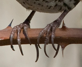 Feet typical of passerines