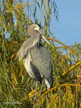 (Ardea herodias) Great Blue Heron above small Belmont Pond.