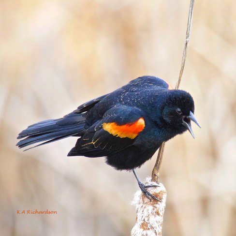 A dominant male Red-winged Blackbird claiming his territory.