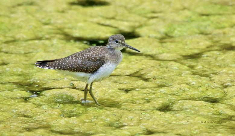 Solitary Sandpiper on a bed of algae.