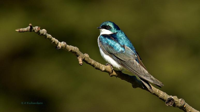 Tree Swallow in Kane Valley, BC.