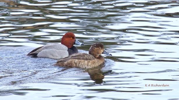 REDH pair at Birdie Lake.