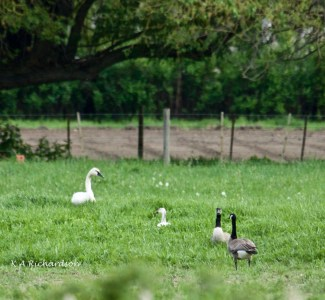 Tundra Swan and Snow Goose share Thomson Farm field.