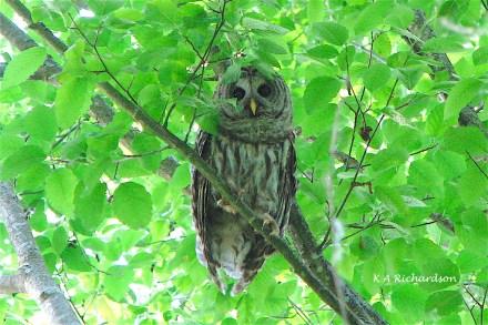 Barred Owl 070602
