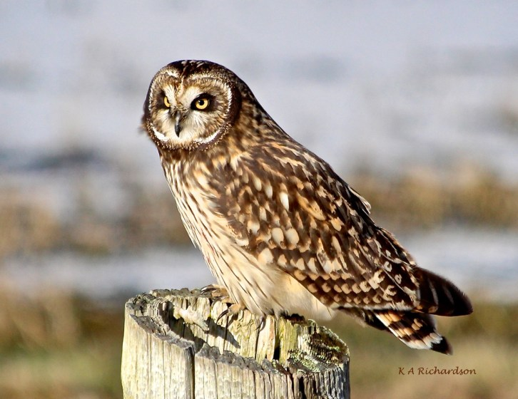 Short-eared Owl 130110