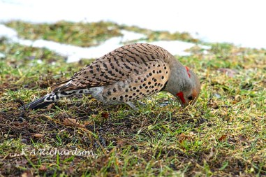 INtergrade Flicker in Spring