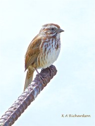 Called to The Bar.... Song Sparrow (Melospiza melodia)