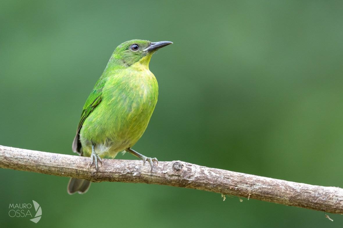 Mielero verde:Green Honeycreeper:Chlorophanes spiza1