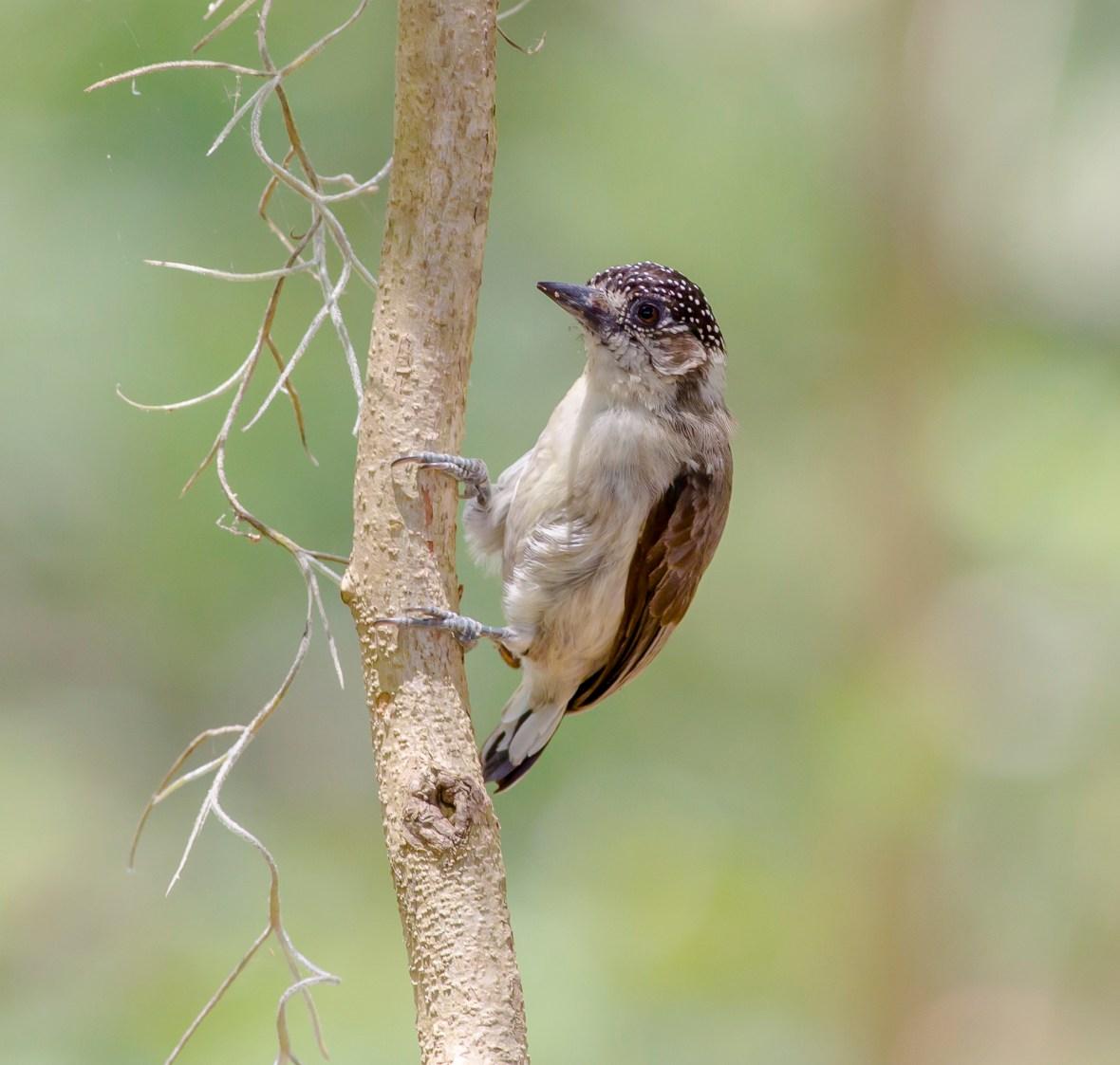 Picumnus Granadensis.jpg
