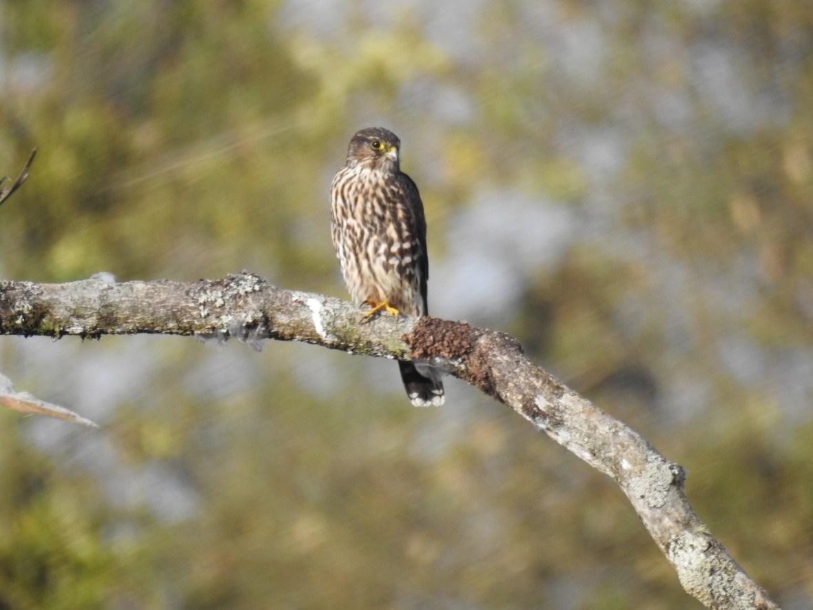 falco-columbarius