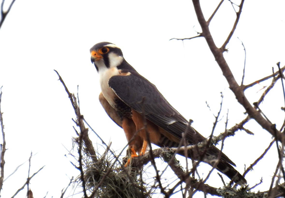falco-femoralis-1