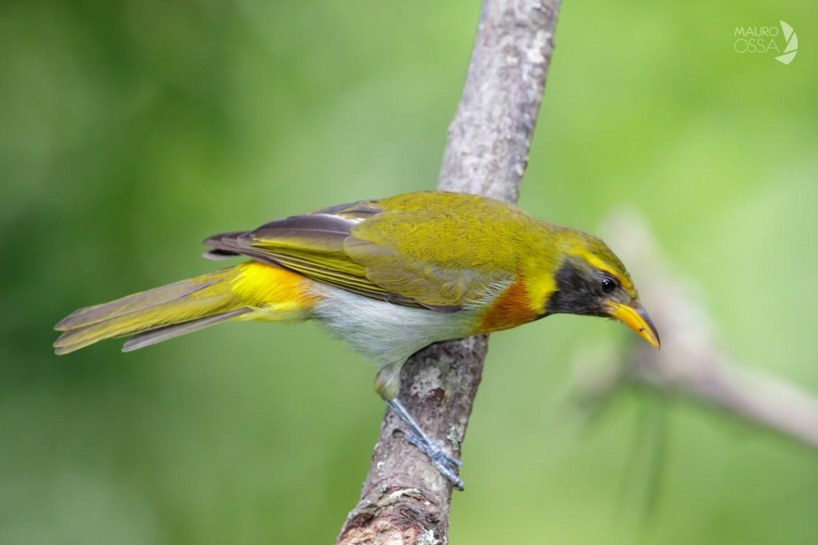 Hemithraupis guira2