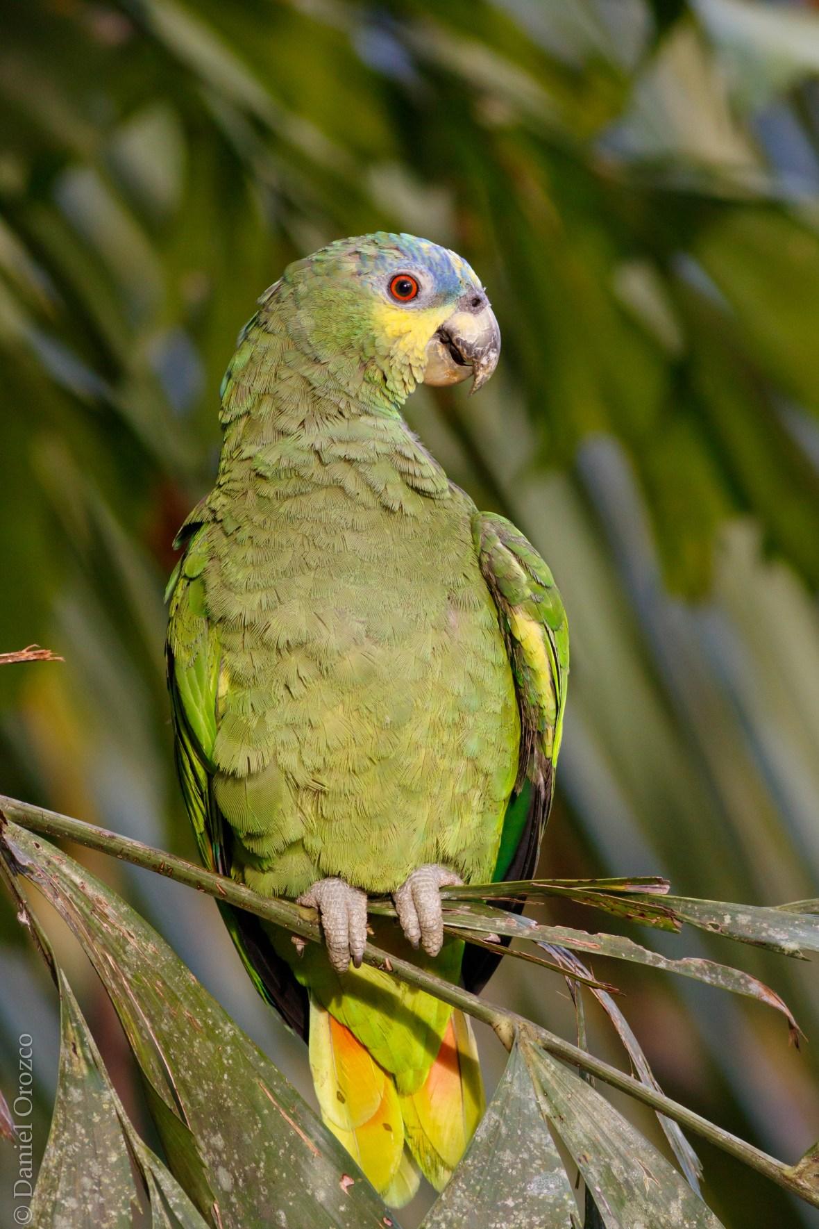 Amazona amazonica Torrelavega