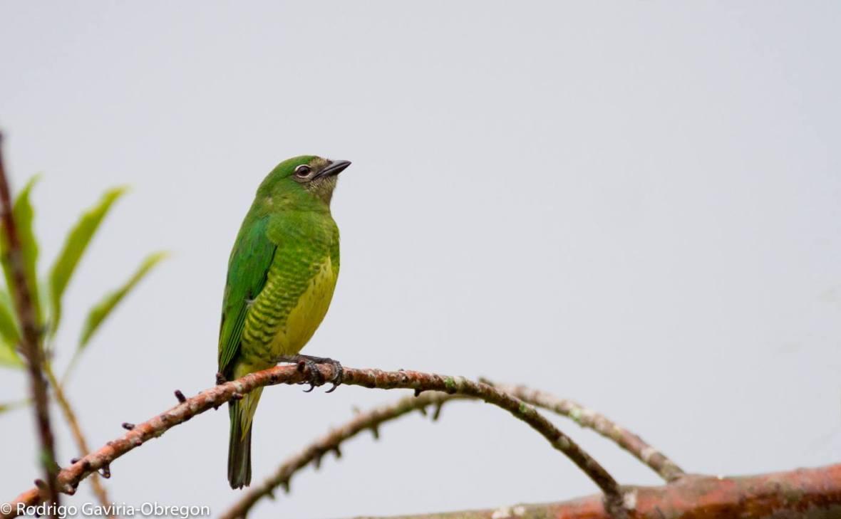 Tersina viridis