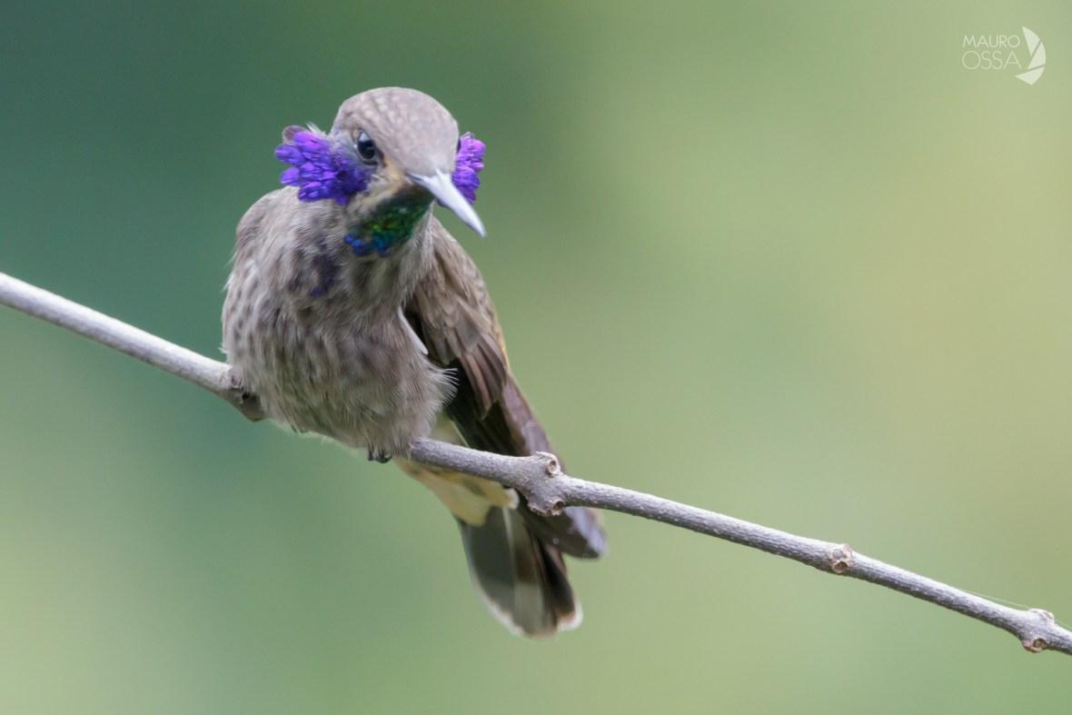 Colibri delphinae1