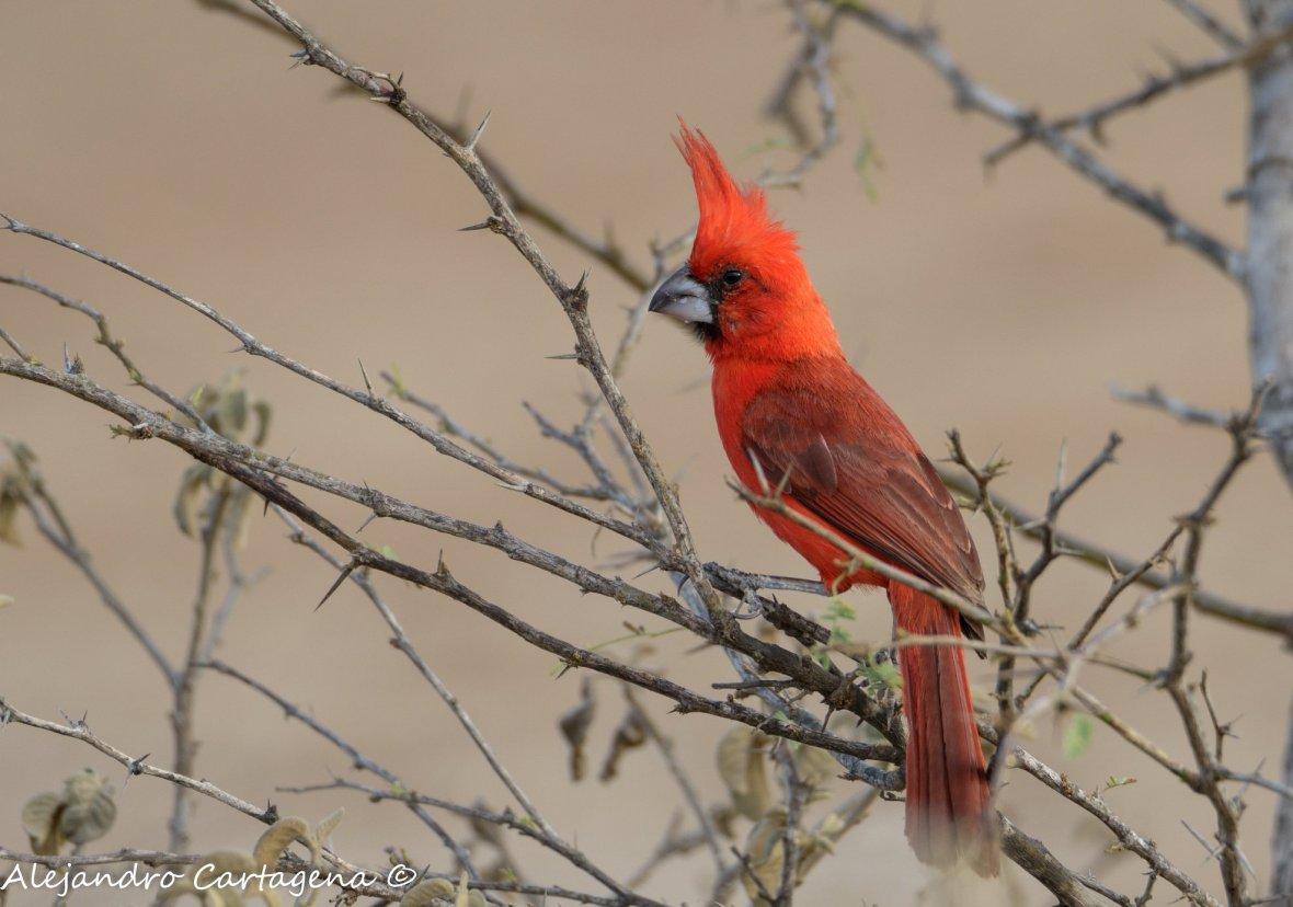 Cardinalis phoeniceus male