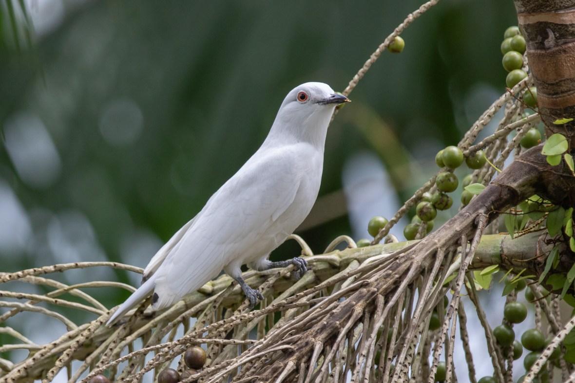 Cotinga Blanca:Black-tipped Cotinga:Carpodectes hopkei1