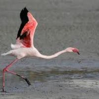 Can Flamingos Fly - Do Flamingos Fly