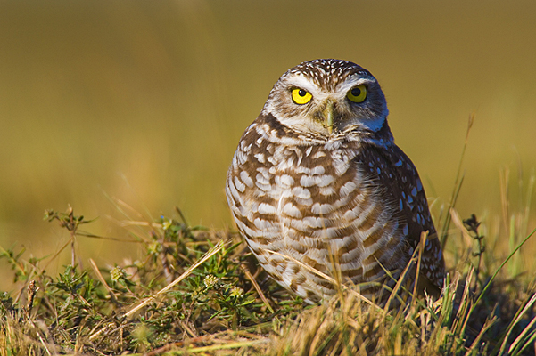 Burrowing Owl Facts Where Do Burrowing Owls Live What Do Burrowing Owls Eat